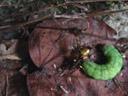 an ichneumon fly and its victim. 2006-05-02, Sony Cybershot DSC-F828. keywords: ichneumonoidea, green caterpillar, grüne raupe