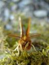 tau emperor (aglia tau), male. 2006-05-03, Sony Cybershot DSC-F828. keywords: orange, butterfly