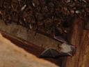 nursery roost of the greater mouse-eared bat (myotis myotis). 2006-06-10, Sony Cybershot DSC-F828. keywords: flying bat