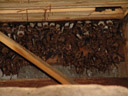 nursery roost of the greater mouse-eared bat (myotis myotis). 2006-06-10, Sony Cybershot DSC-F828.