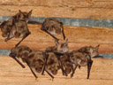 mouse-eared bats (myotis myotis). 2006-06-10, Sony Cybershot DSC-F828. keywords: grosses mausohr, greater mouse-eared bat