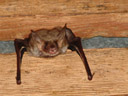 greater mouse-eared bat (myotis myotis). 2006-06-10, Sony Cybershot DSC-F828. keywords: fledermaus