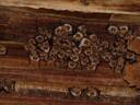 different nursery roost of myotis myotis, in lienz