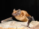 augibunde, the noctule bat (nyctalus noctula)
