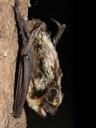 albuin, showing his teeth. 2006-06-14, Sony Cybershot DSC-F828. keywords: parti-coloured bat, vespertilio murinus, zweifarbfledermaus