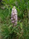 fragrant orchid (gymnadenia conopsea). 2006-06-16, Sony Cybershot DSC-F828. keywords: orchidaceae, mücken-händelwurz, langsporn-händelwurz, fliegen-händelwurz, pink flower
