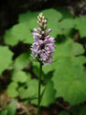 orchid (orchis sp.?)