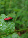 cardinal beetle (pyrochroa coccinea)
