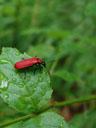 cardinal beetle (pyrochroa coccinea). 2006-06-16, Sony Cybershot DSC-F828. keywords: coleoptera, pyrochroidae, pyrochora