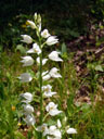 narrow-leaved helleborine (cephalanthera longifolia)