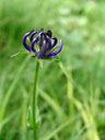 round-headed rampion (phyteuma orbiculare)
