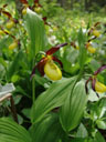 lady's slipper orchid (cypripedium calceolus). 2006-06-16, Sony Cybershot DSC-F828. keywords: orchidaceae, marienfrauenschuh
