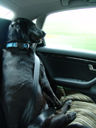 wearing a safety belt. 2006-06-16, Sony Cybershot DSC-F828. keywords: scully, dog