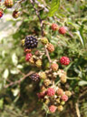 blackberries (rubus fruticosus agg.) in all stages of ripeness