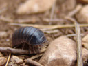 i thought this was a pretty big woodlouse (oniscidea), until i read about giant isopods (link)