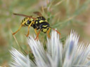 a wasp - barely touching the globe thistle that it's sitting on
