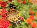 painted lady (vanessa cardui), top side