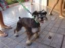 cute mullet-dog. 2006-08-01, Sony Cybershot DSC-F828.
