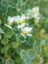 sarcocapnos saetabensis. 2006-08-02, Sony Cybershot DSC-F828. keywords: papaveraceae