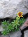 yellow mountain saxifrage (saxifraga aizoides)