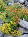 yellow mountain saxifrage (saxifraga aizoides) in different colours. 2006-08-19, Sony Cybershot DSC-F828. keywords: bewimperter steinbrech, orange, yellow, gelb