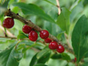red mezereon berries (daphne mezereum). 2006-08-19, Sony Cybershot DSC-F828.