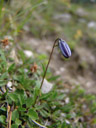 bellflower bud (campanula sp.)