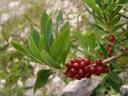mezereon (daphne mezereum), with berries. 2006-08-19, Sony Cybershot DSC-F828.