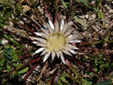 stemless carline thistle (carlina acaulis ssp. acaulis). 2006-08-19, Sony Cybershot DSC-F828. keywords: silver thistle