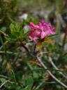 the last signs of spring: alpenrose (rhododendron hirsutum) flower. 2006-08-19, Sony Cybershot DSC-F828. keywords: bewimperte alpenrose