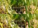 southern hawker's wingbeat (aeshna cyanea)