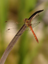 a darter dragonfly (sympetrum sp.). 2006-09-01, Sony Cybershot DSC-F828. keywords: meadowhawker