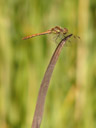 a darter dragonfly (sympetrum sp.)