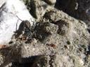 pardosa wagleri, a wolf spider. 2006-10-10, Sony Cybershot DSC-F828. keywords: arachnida, micrura, megoperculata, araneae, labidognatha, lycosidae