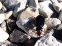 nebria picicornis, a ground beetle. 2006-10-10, Sony Cybershot DSC-F828. keywords: flussdammläufer, arthropoda, hexapoda, insecta, coleoptera, adephaga, carabidae, nebriinae,