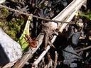 assasin bug (rhinocoris iracundus juv.). 2006-10-10, Sony Cybershot DSC-F828. keywords: hemiptera, harpactorinae, reduviidae, stechwanze, zornige raubwanze,