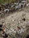 a myrmicine ant (manica rubida) near the entry to its nest. 2006-10-10, Sony Cybershot DSC-F828. keywords: formicidae, myrmicinae, myrmicini