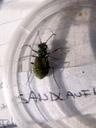 a tiger-beetle (cicindela sp.). 2006-10-10, Sony Cybershot DSC-F828. keywords: coleoptera, adephaga, carabidae, cicindelidae, cicindelinae