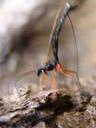 ephialtes manifestator; it pulled out so fast that it got blurred (exposure: 1/30th sec.). 2006-10-27, Sony DSC-F828. keywords: ichneumonidae, schlupfwespe, ephialtes manifestor