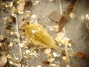 mayfly larva (rhithrogena sp.). 2006-11-12, Sony Cybershot DSC-P93. keywords: ephemeroptera, heptagenidae
