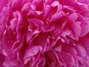 pink. 2005-05-31, Sony Cybershot DSC-F828. keywords: paeony