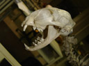 skull of a wild cat (felis silvestris)
