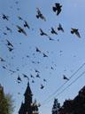 tauben || foto details: 2007-04-09, timisoara, romania, Sony F828. keywords: flying birds, pigeons, orthodox cathedral timisoara