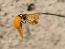 13:01: spots slowly become more distinct (coccinella septempunctata). 2007-04-22, Sony F828. keywords: coccinella septempunctata, coccinellidae, coccinella, seven-spot , seven-spotted ladybug, seven-spotted lady beetle