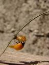 freshly hatched ladybird (coccinella septempunctata). 2007-04-22, Sony F828. keywords: coccinella septempunctata, coccinellidae, coccinella, seven-spot , seven-spotted ladybug, seven-spotted lady beetle