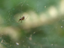 a sheet weaver spider (linyphiidae) in its web