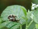 weevil copulation (curculionidae). 2007-04-29, Sony F828. keywords: beetle mating, female, male, weevil, weevils mating, reproduction