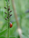 a seven-spot ladybird (coccinella septempunctata) munching away on aphids (aphidoidea )
