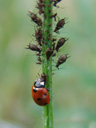 a seven-spot ladybird (coccinella septempunctata) munching away on aphids (aphidoidea ); note the aphid-goo in the beetle's face!. 2007-04-29, Sony F828. keywords: sternorrhyncha, greenfly, blackfly, plant lice, seven-spotted ladybug, seven-spotted lady beetle, coccinellidae, predator