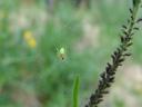 cucumber green spider (araniella cucurbitina). 2007-04-29, Sony F828. keywords: araneidae